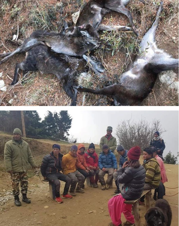 Endangered musk deer that were killed by wire traps in April, and the Nepal Amry with six alleged poachers