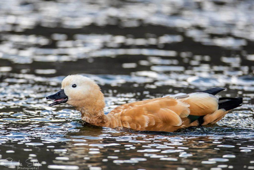 Ruddy Shelduck migratory waterfowl in Gokyo